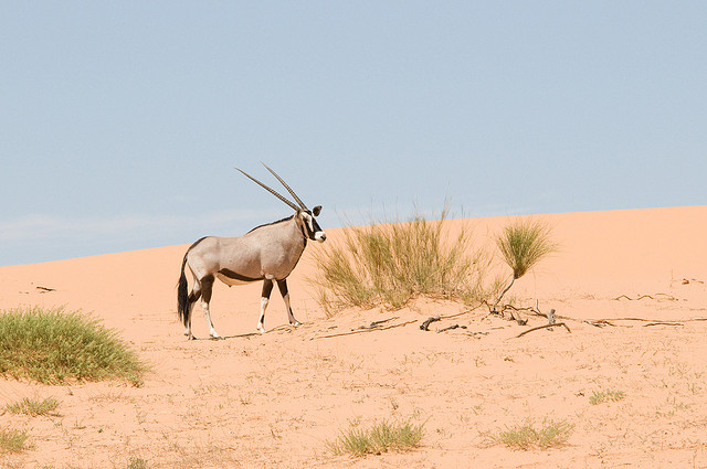 Oryx Gazella, Kruger National Park