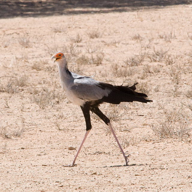 Secretary Bird (Sagittarius serpentarius) Kalahari, South-Africa