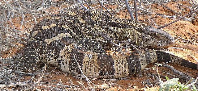 Large Lizard - found in Kalahari Botswana with SA border
